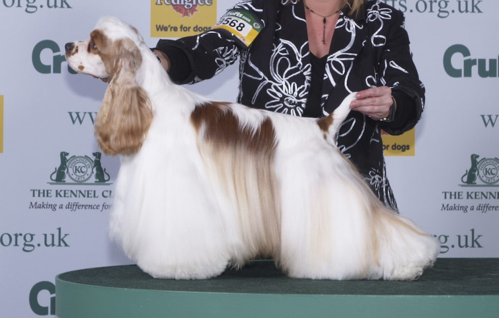 concours-cocker-americain-spaniel