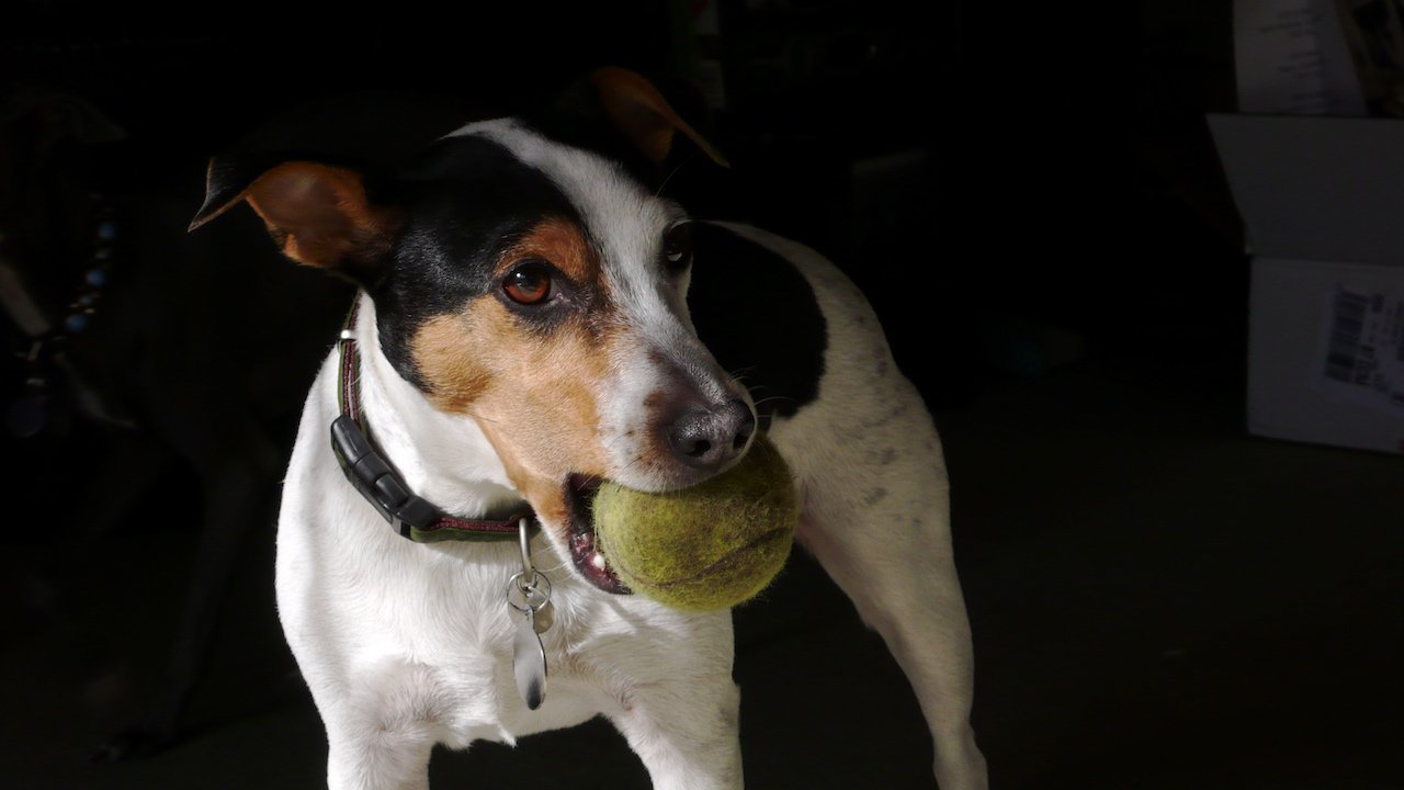 jack-russell-balle