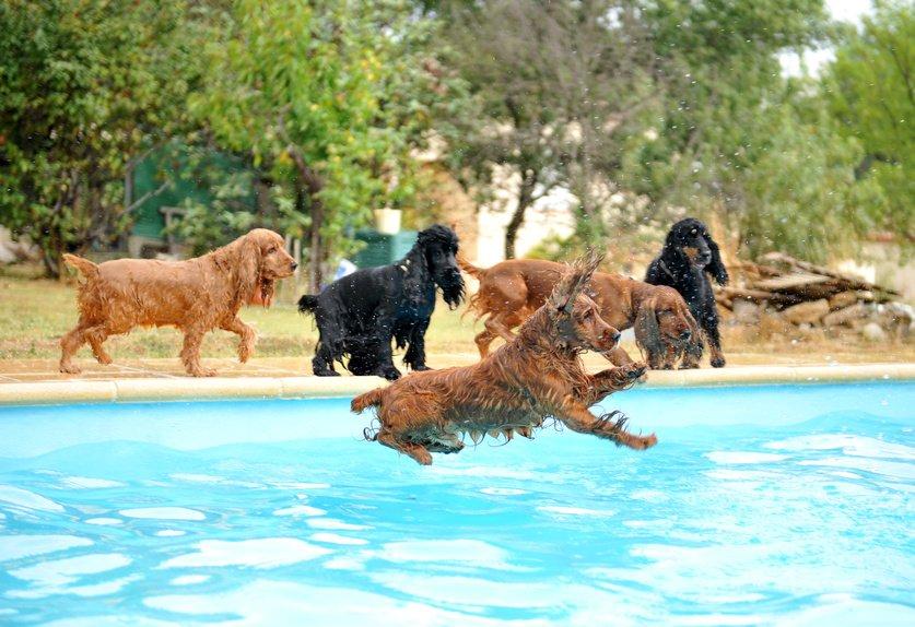jeu de chiens en piscine