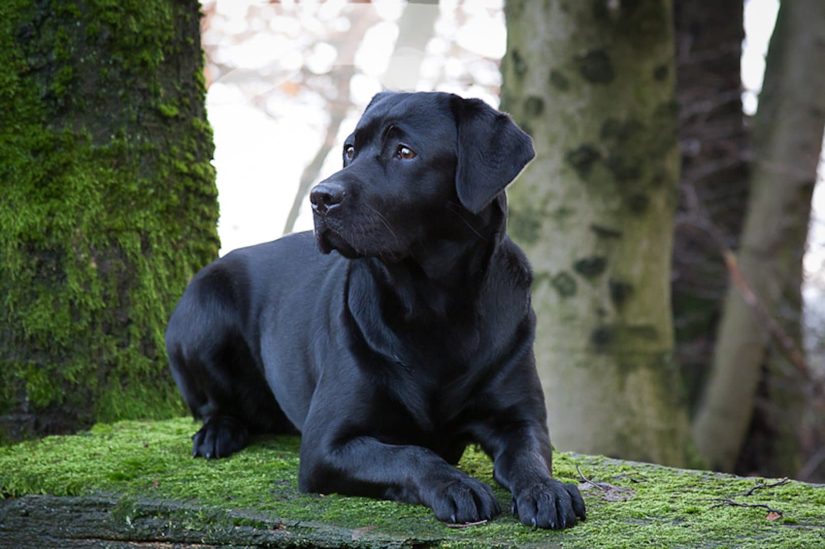 Black Labrador Retriever Lotte