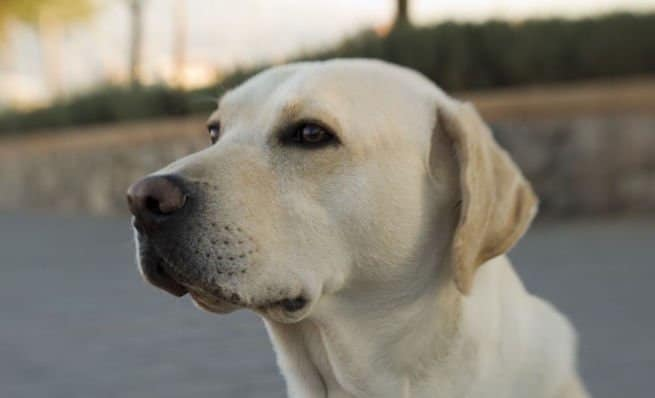 Le labrador retriever, extrêmement amical et attachant