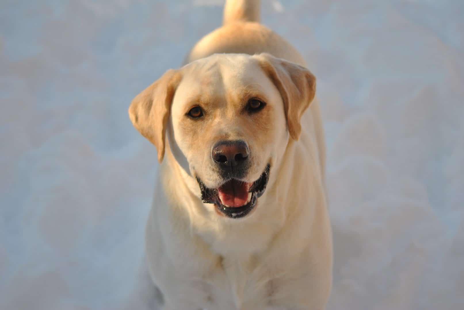 labrador-retriever-neige