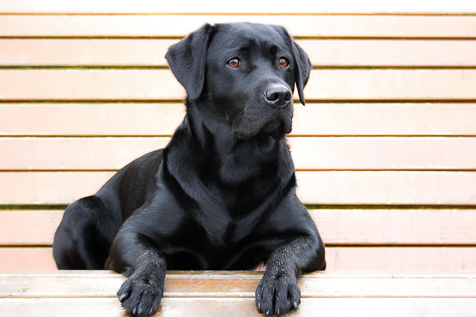 labrador-retriever-noir