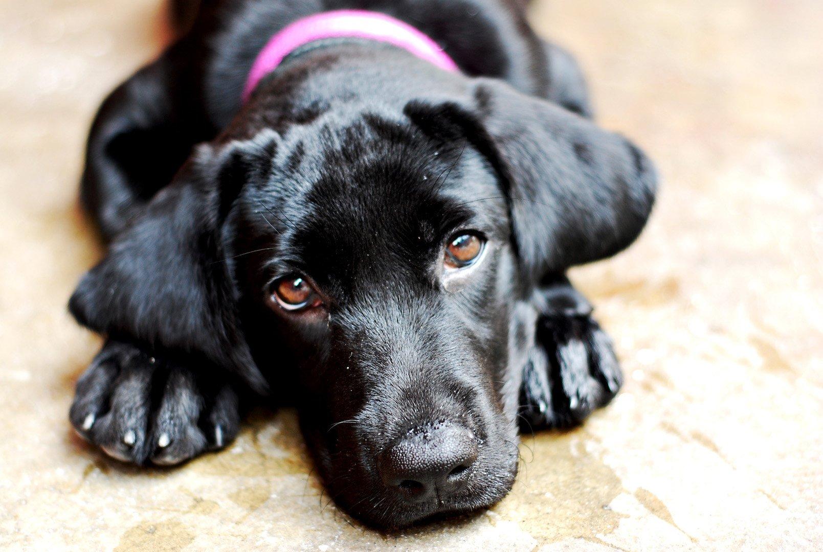 regard-chiot-labrador-noir