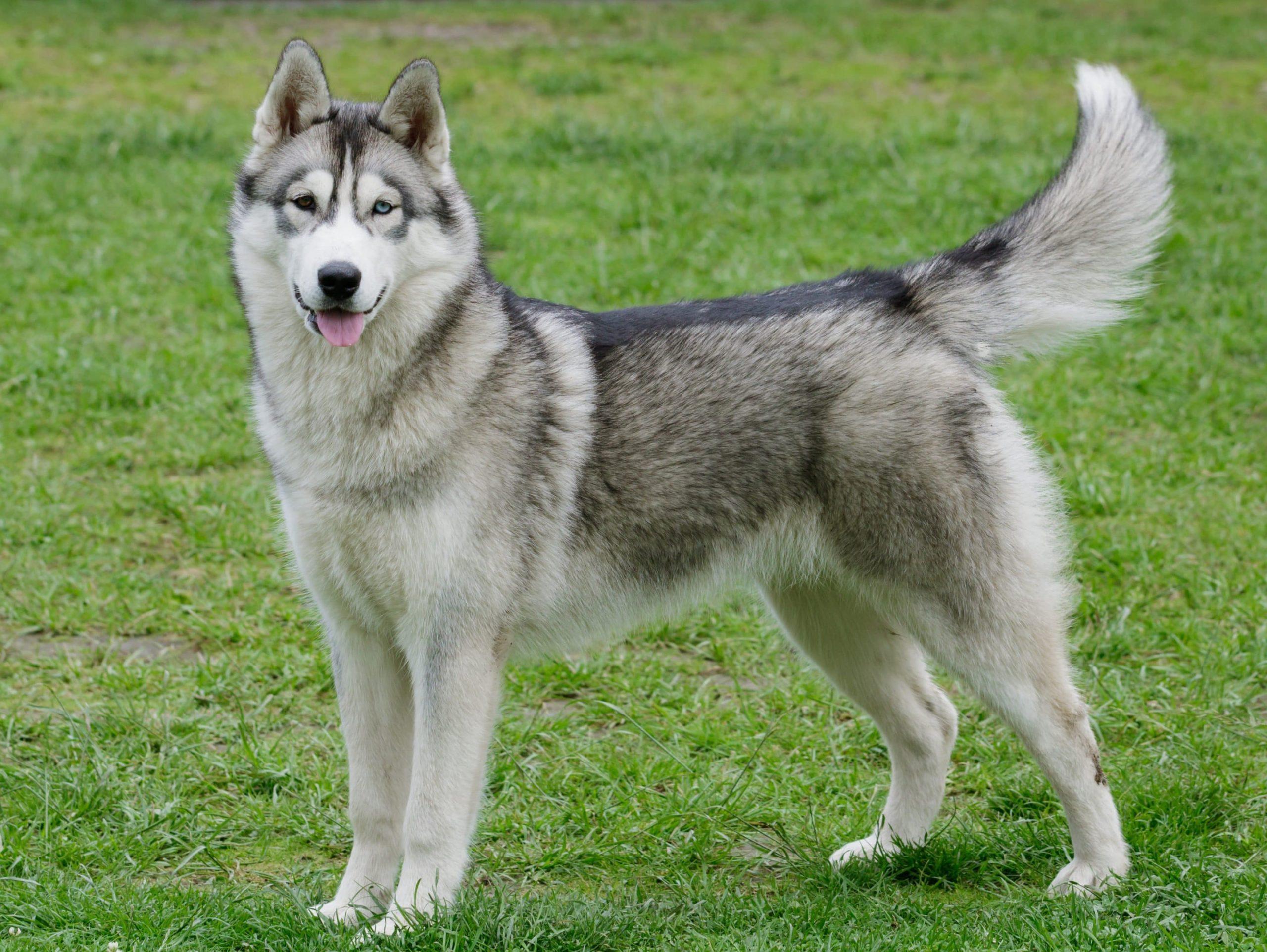 Husky Sibérien : la beauté du grand nord