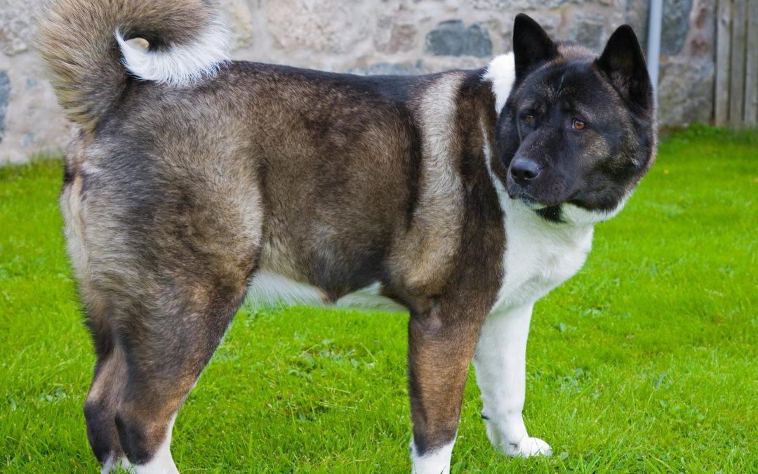 Race de chien : Akita Américain