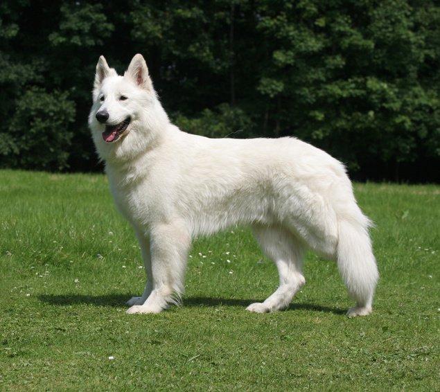 Race de chien : Berger Blanc Suisse