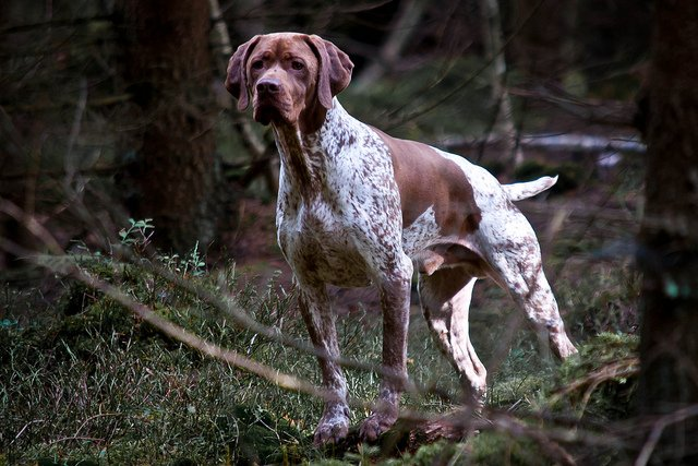 Race de chien : Braque Français