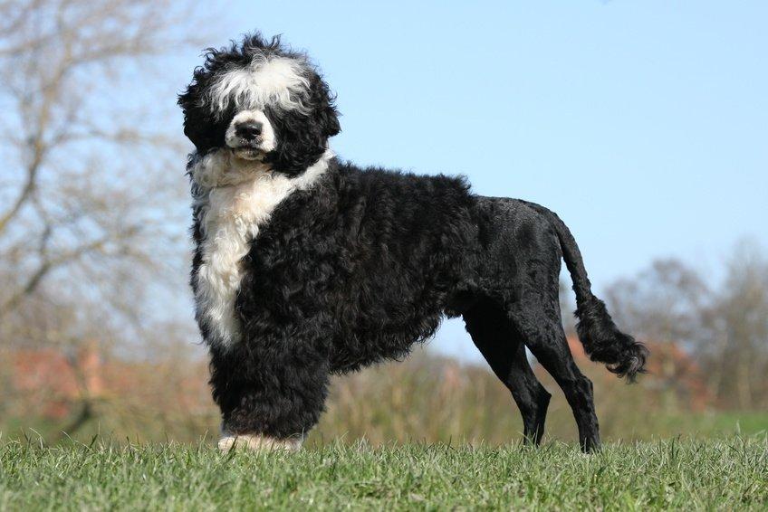 Race de chien : Chien d'eau Portugais