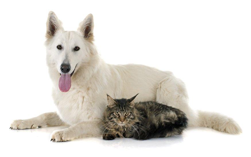 """Résultat de recherche d'images pour """"chien berger suisse pinterest"""""""