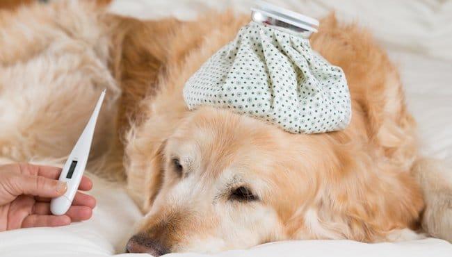 Mon chien a de la fièvre, que faire ?