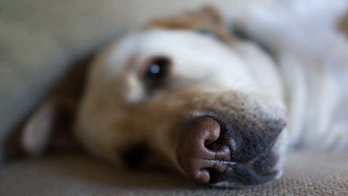Parvovirose canine : 5 symptômes qui doivent vous alerter
