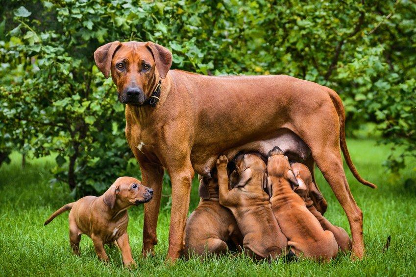 Race de chien : Rhodesian Ridgeback