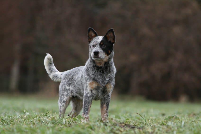 Race de chien : Bouvier Australien