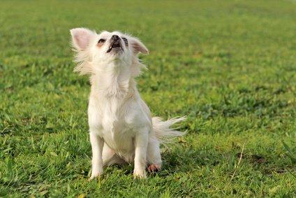 chien qui hurle