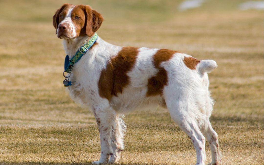 Race de chien : Epagneul Breton