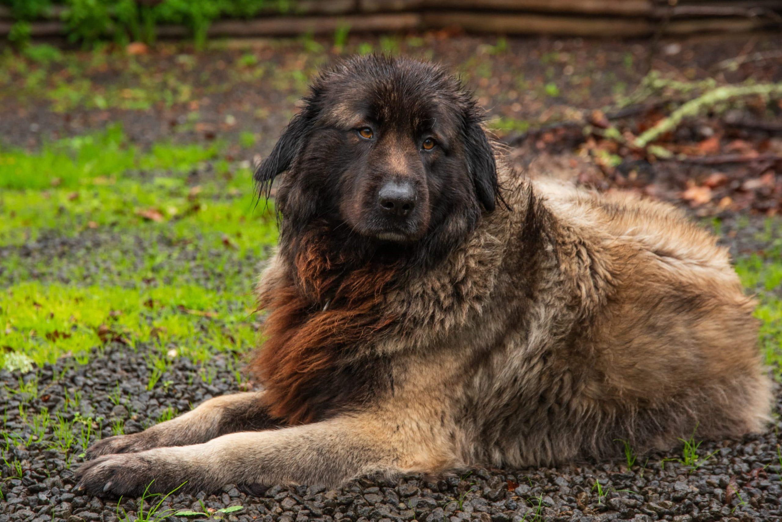 Chien de montagne portugais : berger qui garde d'un œil bienveillant sur son troupeau