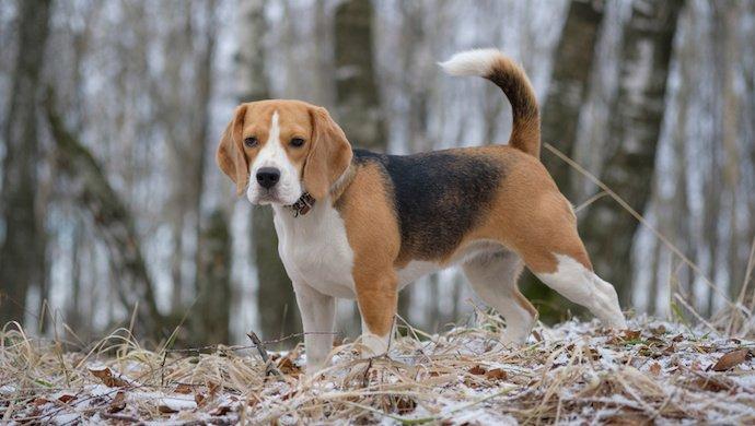 Le Beagle: un chien très british