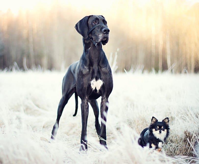 Dogue Allemand - Caractère, origine, éducation et conseils