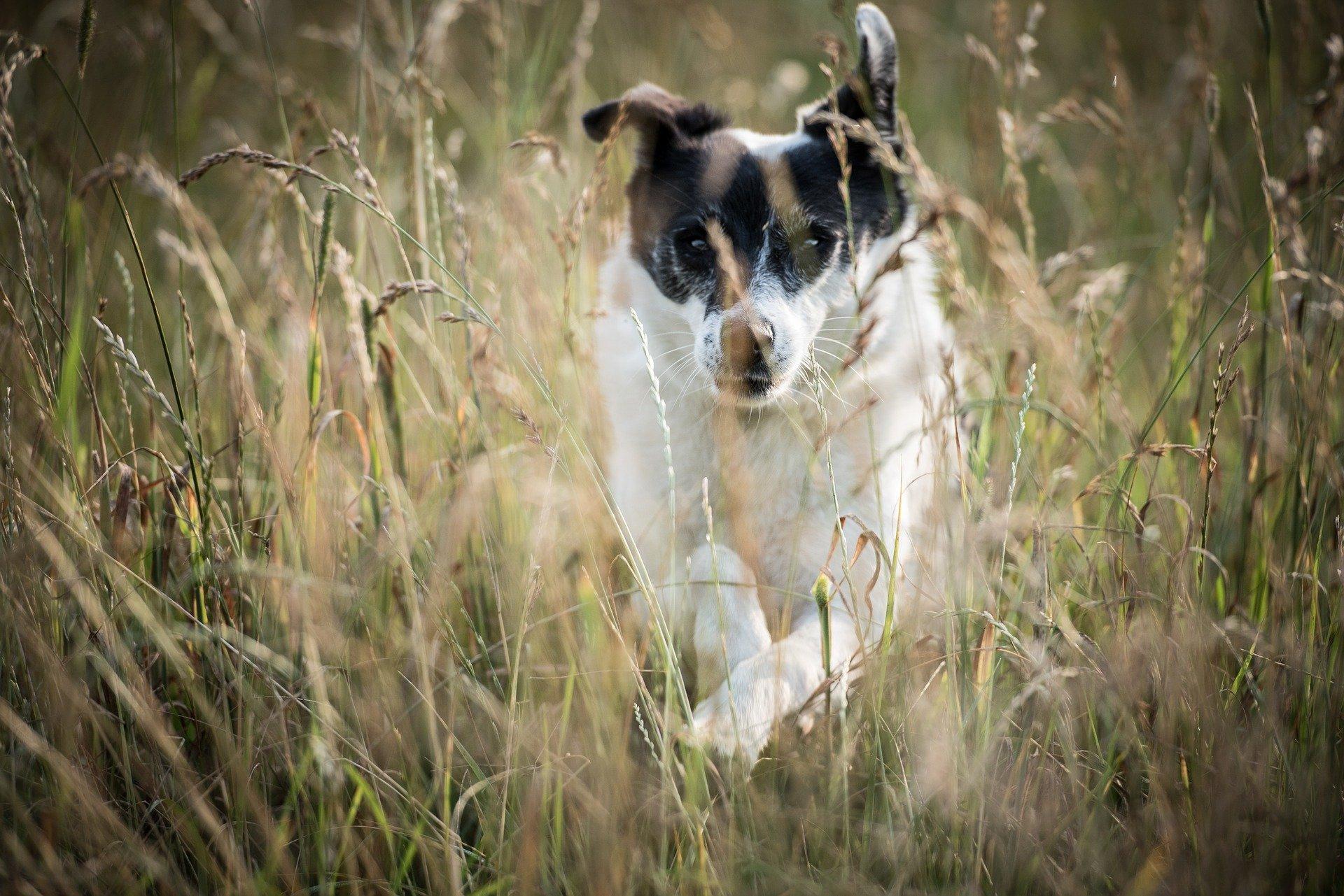 Epillets chez le chien : une urgence vétérinaire