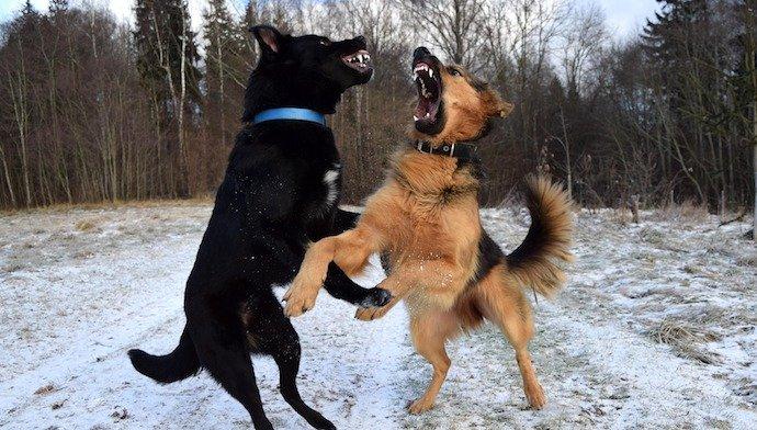 Mon chien est agressif envers les autres mâles ! Que faire ?