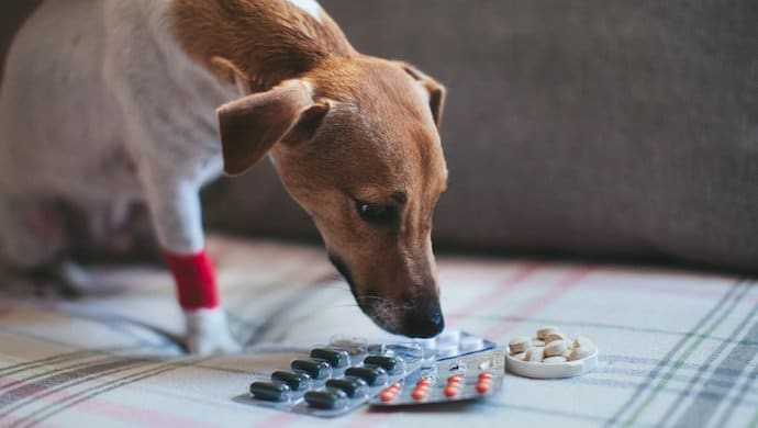 Donner du paracétamol à son chien : une fausse bonne idée !