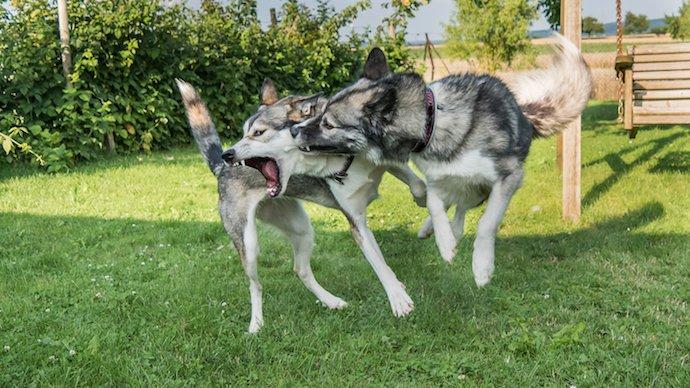 Bagarre entre chiens : comment réagir pour y mettre fin ?