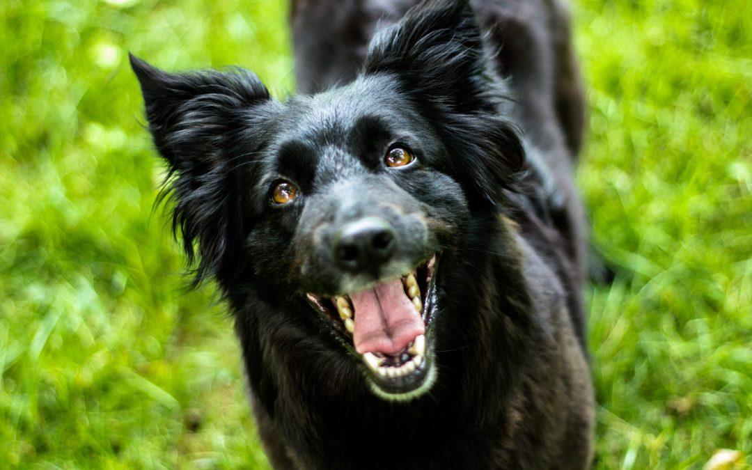 Comment améliorer la concentration de mon chien ?
