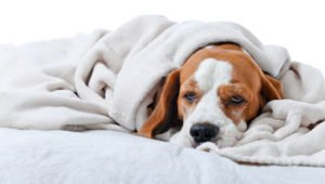 Maladies rares chez le chien