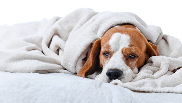 5 Maladies rares chez le chien