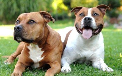 L'American Staffordshire Terrier: le meilleur du bull et du terrier