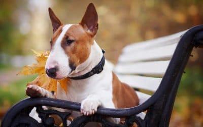 Bull Terrier : Le doux protecteur