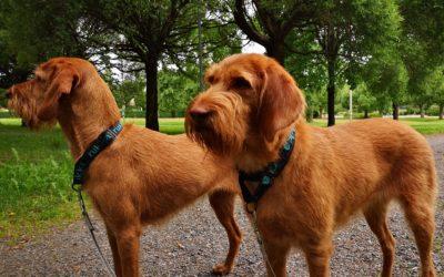Griffon fauve de Bretagne: un chien affectueux qui gagnerait à être connu