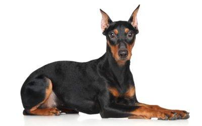 Le pinscher allemand, un chien plein d'énergie