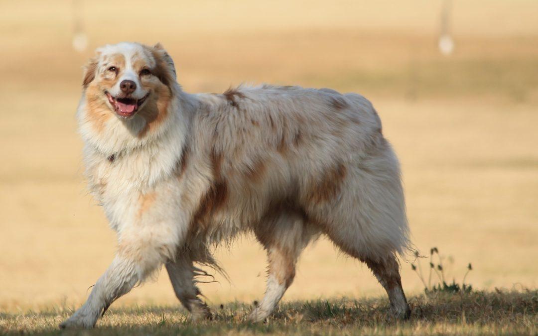 Classement top 20 des races de chien les plus populaires en France 2018