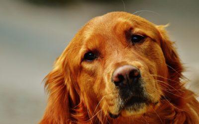 Cardiomyopathie dilatée du chien (CMD) : symptômes et traitements