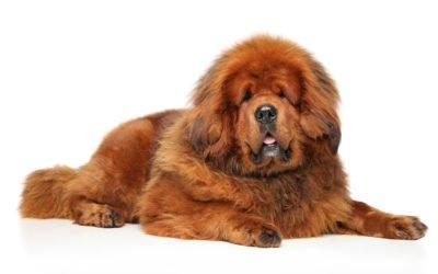 Dogue du tibet : chien de garde et de berger incroyable