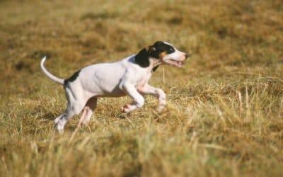 Ariégeois : un chien de chasse du sud de la France