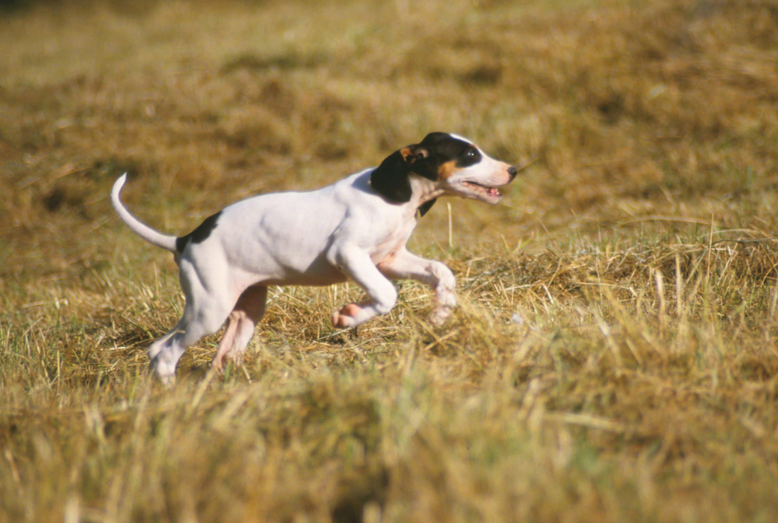 ariégeois chien