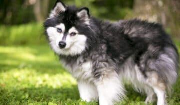 L'Alaskan Klee Kai: un mini Husky au caractère bien trempé