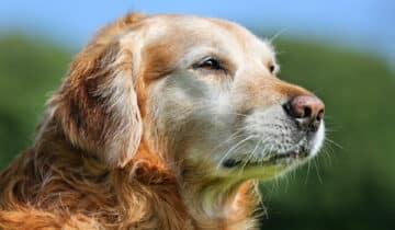 Arthrose chez le chien : Causes, Symptômes et Traitements