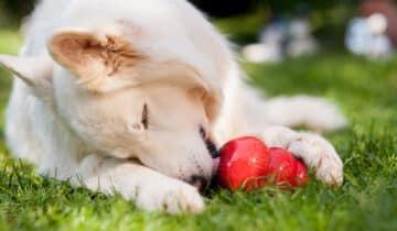 Le Kong: un jouet pour chien ludique et résistant
