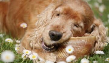 Activité masticatoire du chien : comment satisfaire ce besoin ?