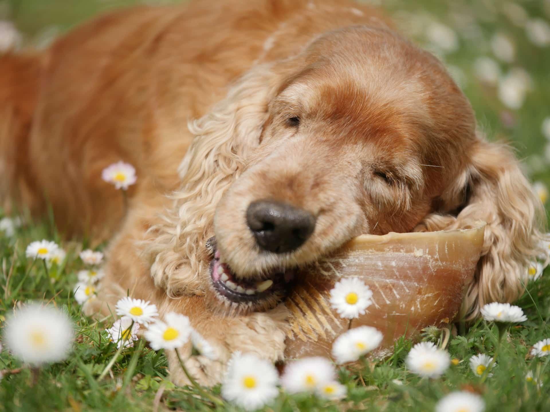Activité masticatoire du chien