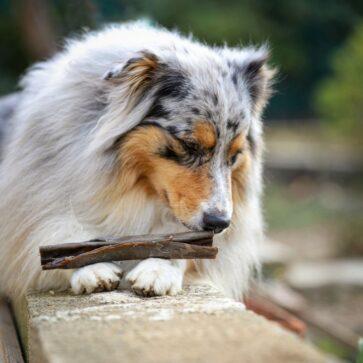 Peaux de cerf pour chien