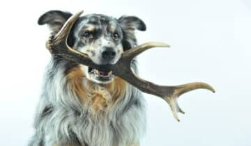 Bois de cerf pour chien : Notre avis sur cette friandise 100% naturelle