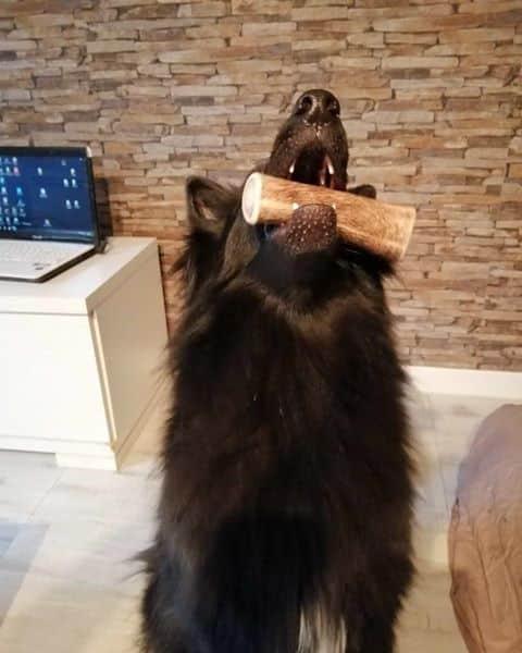 acheter bois de cerf pour chien